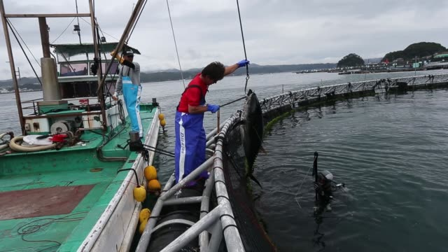 kinki university fisheries laboratory staff member fishes for blue fin tuna on a sea pen at a fish farm, a kinki university fisheries laboratory... - ウミエラ点の映像素材/bロール