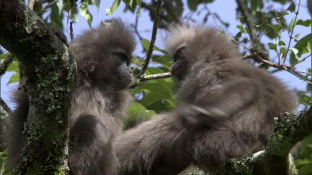 Kipunji (Rungwecebus kipunji) monkeys groom in forest, Mount Rungwe, Tanzania