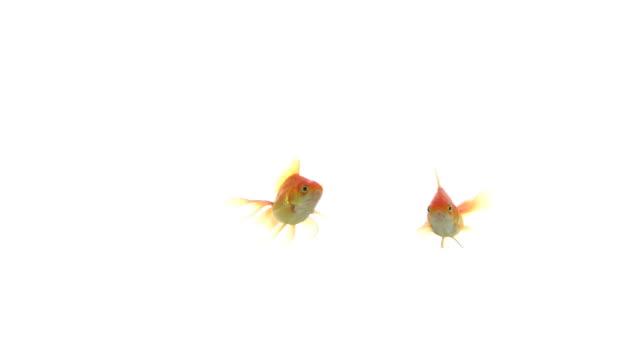 kissing fish . - two animals bildbanksvideor och videomaterial från bakom kulisserna