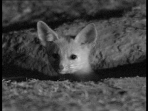 Kit fox peers out of den entrance at night, Bakersfield
