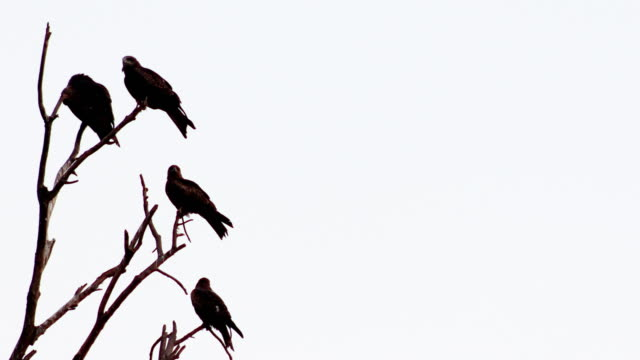 kite birds sitting on bare tree branch with side copy space - bird of prey stock videos & royalty-free footage