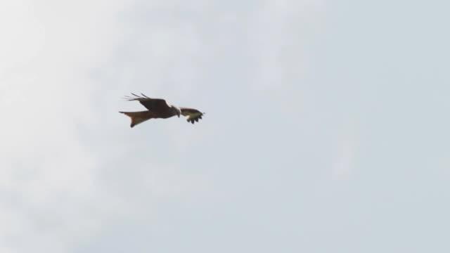 kite - rotmilan stock-videos und b-roll-filmmaterial