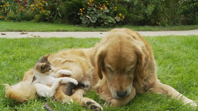 hd: kitten and dog in the grass - dog and cat stock videos and b-roll footage