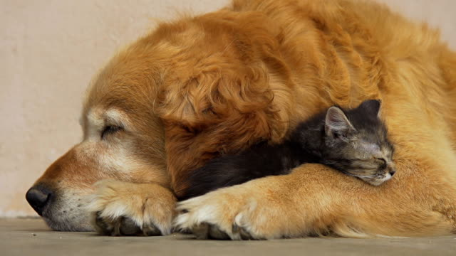 stockvideo's en b-roll-footage met hd: kitten and dog sleeping together - animal