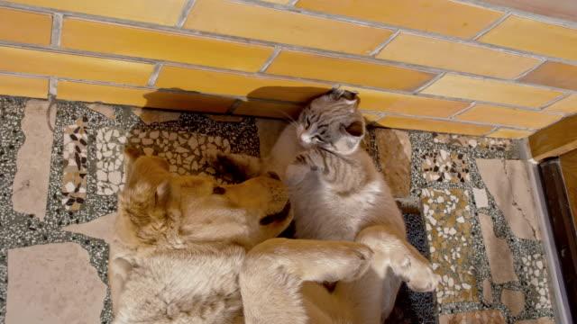 slo mo キトンと子犬遊ぶ - 雑種のネコ点の映像素材/bロール