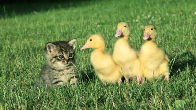 Kitten and three ducklings sitting on grass