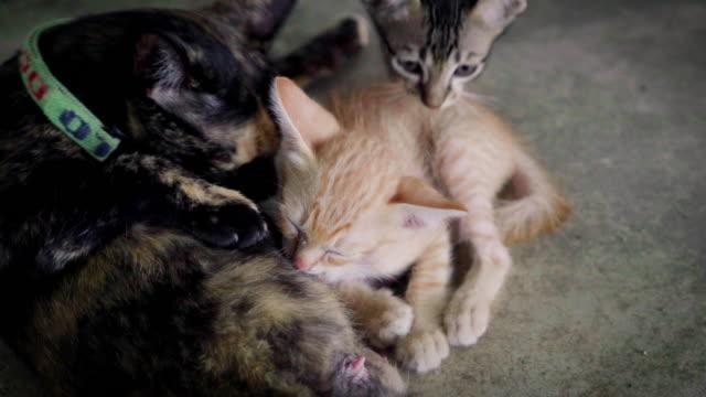 猫、猫 - ショートヘア点の映像素材/bロール