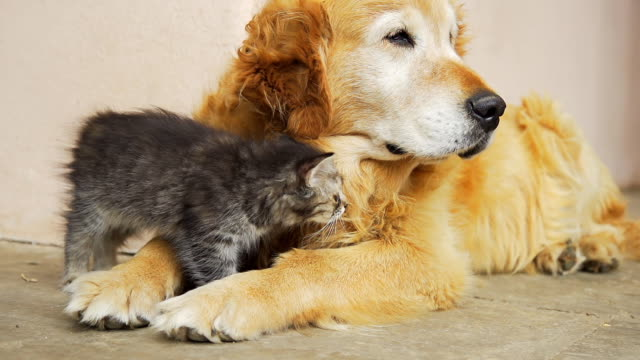 hd super slow-mo: kitten cuddling with a dog - dog and cat stock videos and b-roll footage