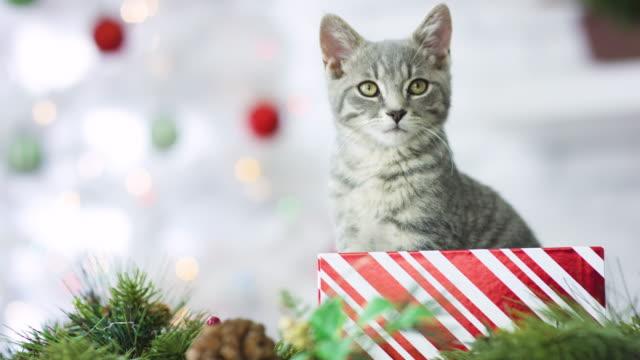 katzenjunges für weihnachten - grau stock-videos und b-roll-filmmaterial