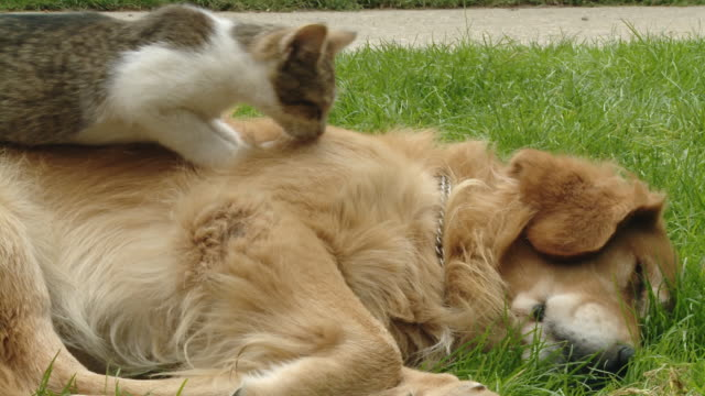 hd dolly: kitten kneading dog's back - lying down stock videos & royalty-free footage