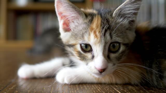 kitten lying on the floor - tortoise shell stock videos & royalty-free footage