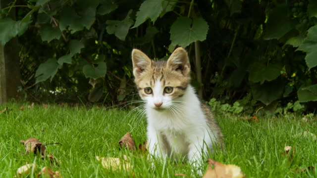 HD: Kitten Playing In Grass