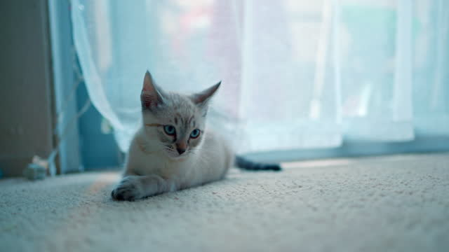 vidéos et rushes de chaton jouant dans la pièce. - partie du corps d'un animal