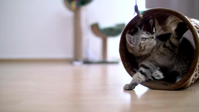 vídeos y material grabado en eventos de stock de kitten playing in tunnel with a toy in slow motion - pluma de ave