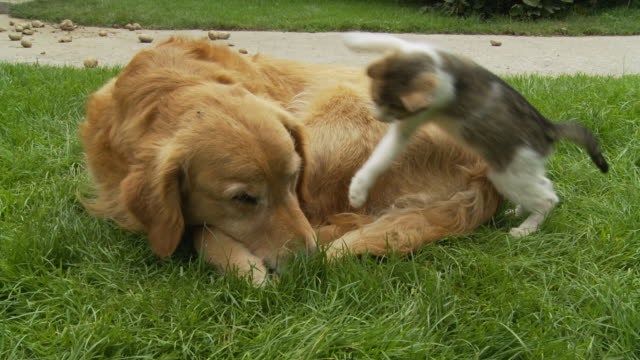 hd: kitten playing with dog - dog and cat stock videos and b-roll footage