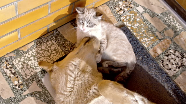 slo mo kitten playing with dog - dog and cat stock videos and b-roll footage