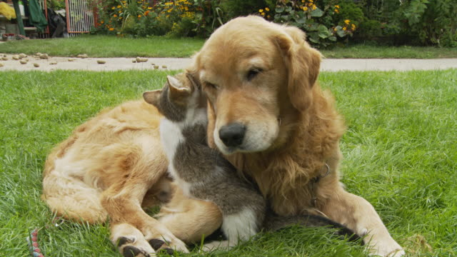 hd: kitten playing with dog's ear - yawning stock videos & royalty-free footage
