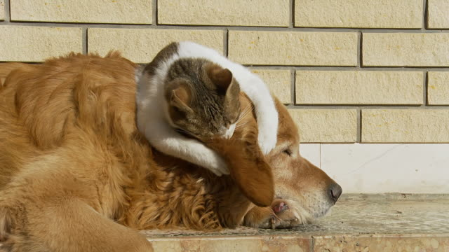 stockvideo's en b-roll-footage met hd: kitten playing with dog's ear - dierenthema's