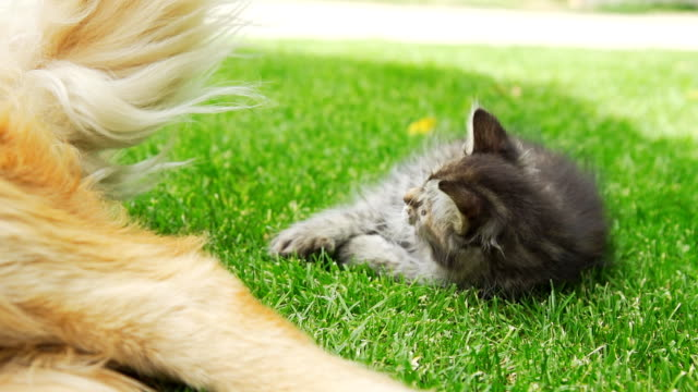 hd super slow-mo: kitten playing with dog's tail - dog and cat stock videos and b-roll footage