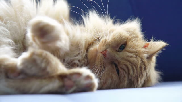 hd: kitten resting on a sofa - long hair stock videos & royalty-free footage