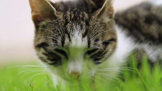 hd: kitten sleeping in grass - mixed breed cat stock videos & royalty-free footage
