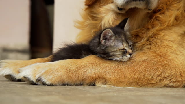hd super slow-mo: kitten sleeping on a dog's leg - dog and cat stock videos and b-roll footage