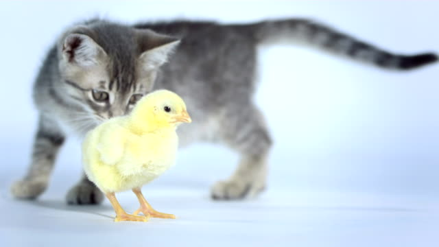 hd: kitten smelling a baby chicken - chicken bird stock videos and b-roll footage