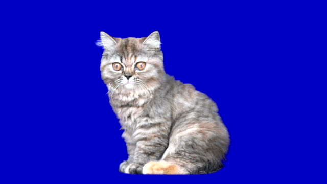 stockvideo's en b-roll-footage met 4k kitten - chroma key