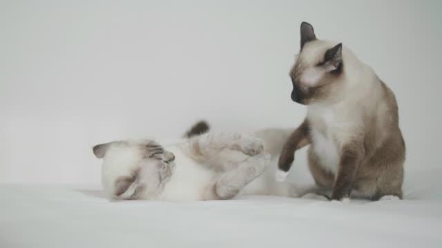 Kittens Fighting on white bed in bedroom.