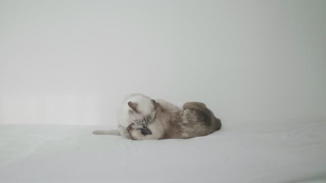 kittens fighting on white bed in bedroom. - mixed breed cat stock videos & royalty-free footage