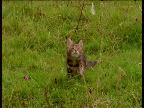 kittens hunt and leap chasing butterflies in meadow - 追いかける点の映像素材/bロール