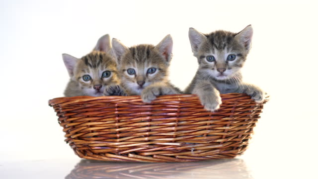 Kittens in a basket over white background .