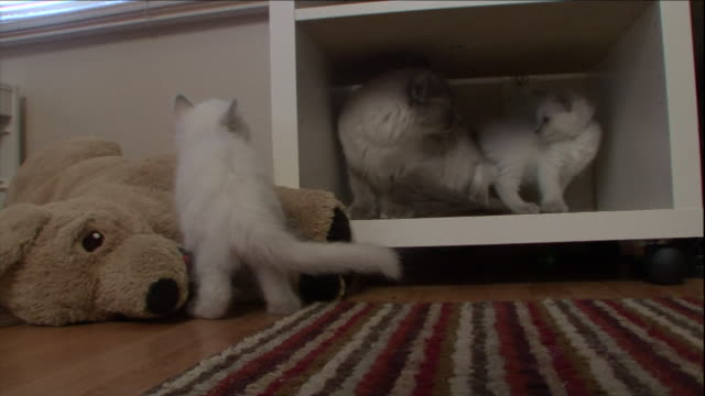 kittens play in a cupboard. - cupboard stock videos & royalty-free footage