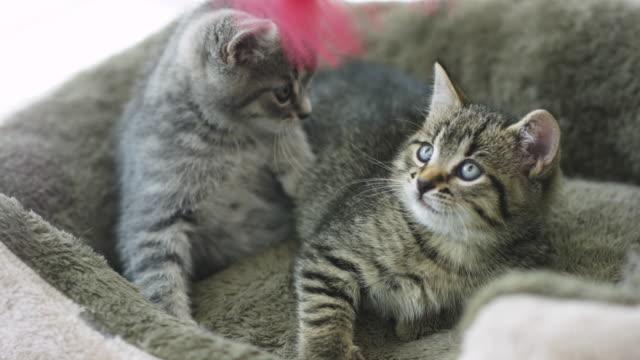 Kätzchen mit Feder Spielzeug spielen