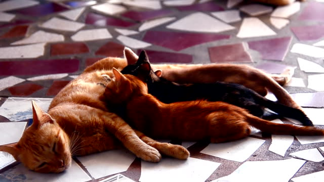 vídeos de stock, filmes e b-roll de que os gatinhos - mamilo