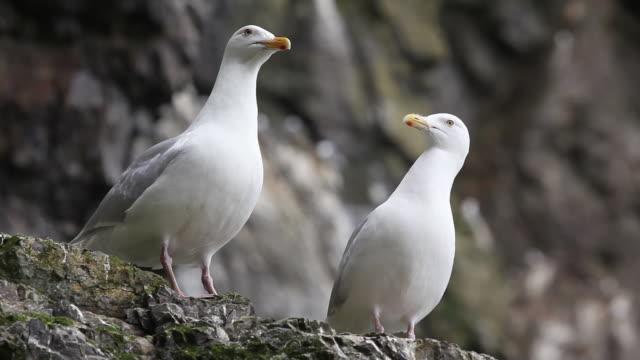 Kittewake Gulls