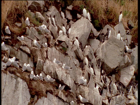 Kittiwake and guillemot colony on cliff face, Talan Island