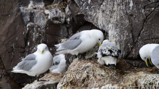 kittiwake mother and baby - farne islands stock videos & royalty-free footage