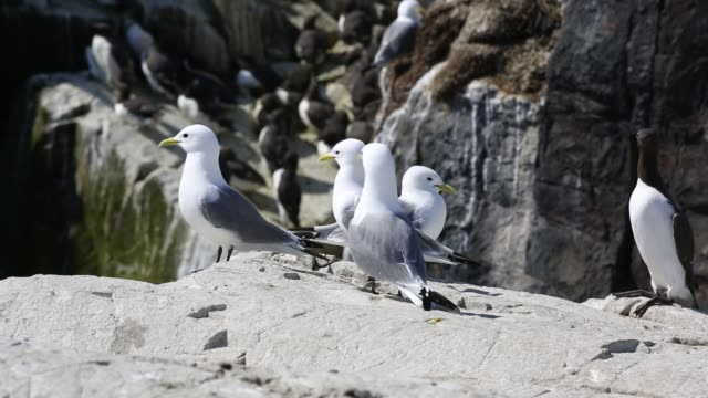 Kittiwakes on breeding cliffs with Common guillemots on the Farne Islands, Northumberland, UK.