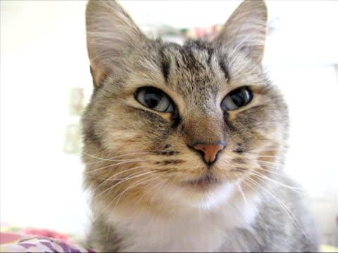 vídeos y material grabado en eventos de stock de kitty cat primer plano - vibrisas