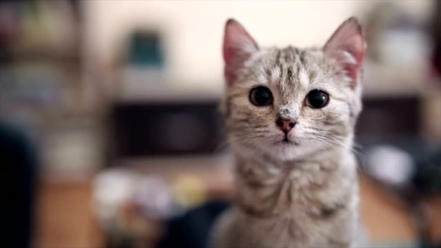kitty cat looking at camera - animal head stock videos & royalty-free footage