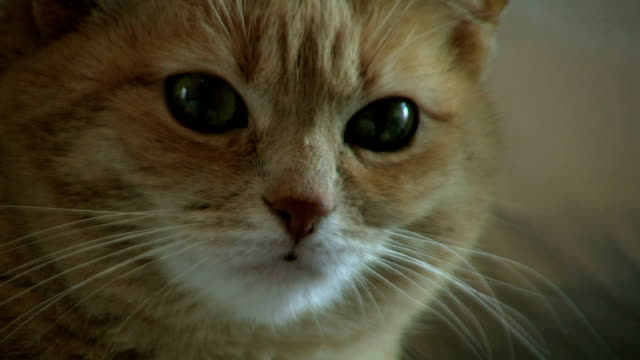 kitty close up 1 - shorthair cat stock videos and b-roll footage