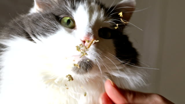 kitty licking catnip - licking stock videos & royalty-free footage