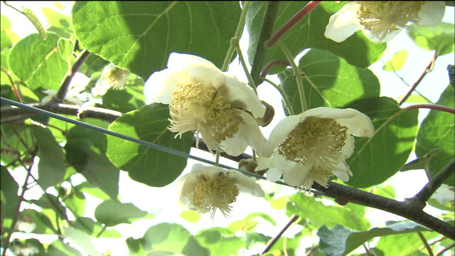 kiwi blossoms bloom in an orchard. - kiwi fruit stock videos and b-roll footage