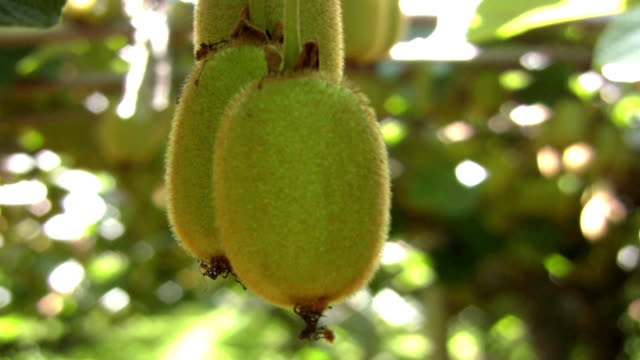 kiwi fruit close up - kiwi fruit stock videos and b-roll footage