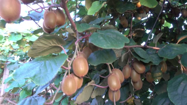 kiwi fruit on the tree - orchard stock videos & royalty-free footage