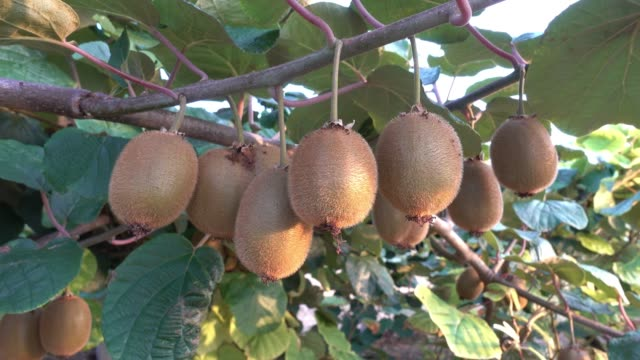 kiwi fruit on the tree - kiwi fruit stock videos and b-roll footage