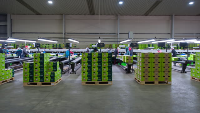 t/l ws kiwi fruit pack house, kiwifruit being packed into boxes, kati kati, bay of plenty, new zealand - food processing plant stock videos & royalty-free footage
