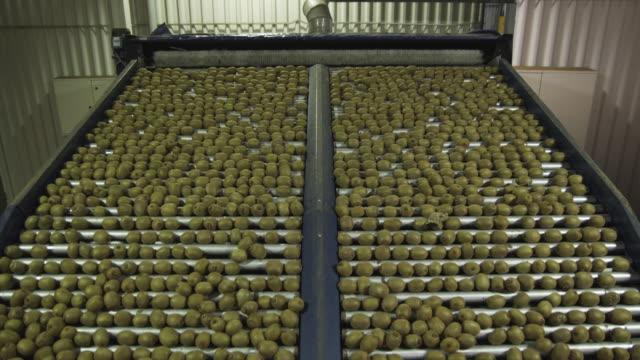 ms kiwi fruits on conveyor in packing plant, kati kati, bay of plenty, new zealand - neuseeland stock-videos und b-roll-filmmaterial