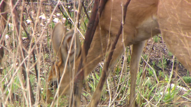 ms klipspringer grazing and walking through plants / limpopo, south africa - hooved animal stock videos & royalty-free footage